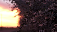 Almond Blossoms Blow in the Wind at Sunset Stock Footage