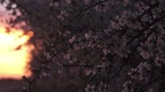 Almond Blossoms Blow in the Wind at Sunset 02 Stock Footage