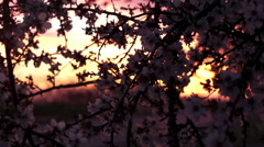 Almond Blossoms in Silhouette at Sunset 02 - stock footage