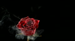 Red rose frozen in liquid nitrogen explodes in slow motion. Shot at 1000 frames - stock footage