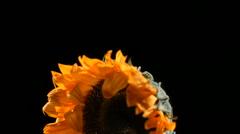 Flower frozen in liquid nitrogen explodes in slow motion. Shot at 1000 frames - stock footage
