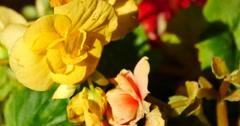 4k yellow & red flower bloom under sunlight. Stock Footage