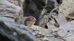 Alpine marmot  on a rock Stock Footage
