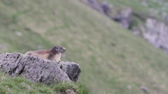 Alpine marmot laying on a rock Stock Footage