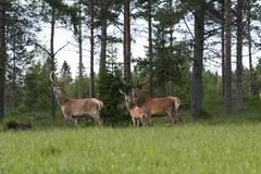 A small group of deers Stock Photos
