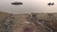 Sacred young cow on polluted Ganges river coast and boats, Varanasi, India Stock Footage