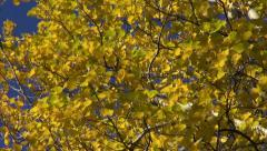 Autumn fall time aspen branch with golden leaves and wind  background Stock Footage