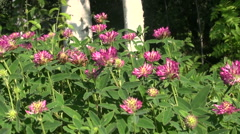 Blooming wild clover in summer Stock Footage