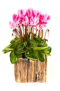 Pink viola flowers - stock photo