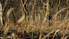 Dry grass and bare trees in background - sunny Stock Footage