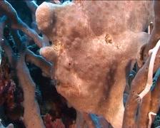 Philippines Philippine Sea Frogfish 0409 Stock Footage