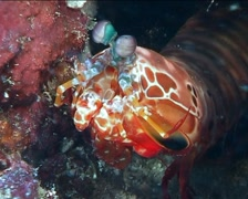 Philippines Philippine Sea Mantis Shrimp 0387 - stock footage