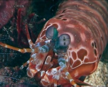 Philippines Philippine Sea Mantis Shrimp 0385 - stock footage