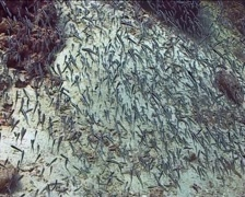 Philippines Philippine Sea  Barberfish 0292 Stock Footage