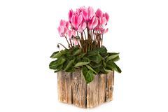 Pink viola flowers Stock Photos