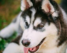 Close Up Young Happy Husky Puppy Eskimo Dog - stock photo