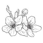 Flower - cherry blossoms drawing Stock Illustration