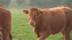 Cows Walking in a Field Stock Footage