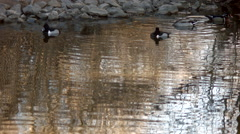 Ring-Necked Duck Diving in Pond Stock Footage