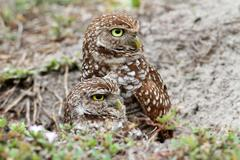 Burrowing Owl (athene cunicularia) Stock Photos