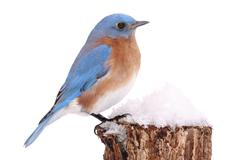 Male Eastern Bluebird in Snow Stock Photos