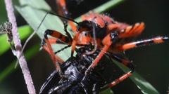 Assasin bug (Rinocoris iracundus) prey another  insect Stock Footage