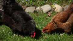 Chickens, Backyard in the summer 4 of 5 Stock Footage
