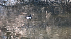 Ring-Necked Duck Swimming in a Pond Stock Footage