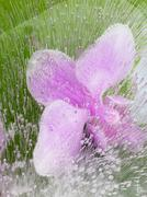 pink orchid in the air bubbles - stock photo