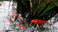 Colorful Koi fishes in a pond Stock Footage