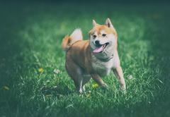 vintage photo of shiba inu dog on grass - stock photo