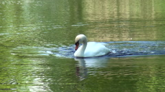 Swan swimming and bathing -  Part 3 Stock Footage