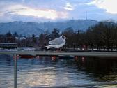 Gull pier lake Zurich (Europe). Stock Photos