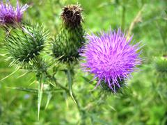 Flower with a pins. Thistle - stock photo