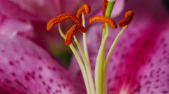 Closeup shot of pink Lily flower Stock Footage