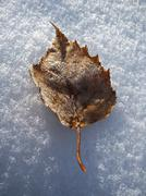 Yellow fallen frosty leaf on the snow - stock photo