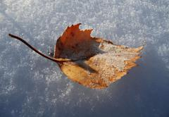 Yellow fallen frosty leaf on the snow Stock Photos