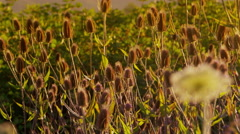 Weeds blowing in the wind at sunset - stock footage