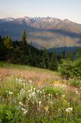 Early Morning Light Wildflower Meadow Olympic Mountains Hurricane Ridge - stock photo