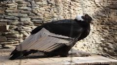 Andean condor vultur gryphus Stock Footage
