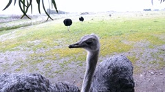 An African Ostrich with funny expression in the face  Stock Footage