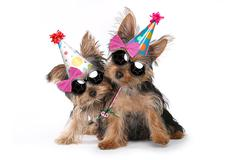 Birthday Theme Yorkshire Terrier Puppies on White Stock Photos
