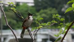 Songbird Red-whiskered bulbul on streets of Hong Kong Stock Footage