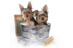 Teacup Yorkshire Terriers on White Bathing - stock photo