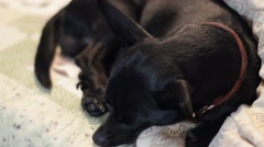 Little black chiwawa dog wakes from sleeping Stock Footage