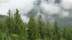 Mist among green coniferous trees Stock Footage