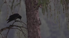A crow is manipulating a branch - stock footage