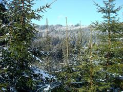 White spruce on Stock Photos