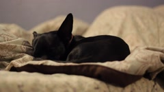Black Chihuahua sleeping close up on bed Stock Footage