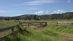 Cattle, cows in field on Coromandel Peninsular, New Zealand Stock Footage